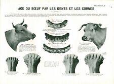 Cabinet de curiosité 1906 anatomie du bœuf planche ancienne n°2