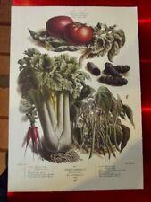 Ancienne affiche 34x49 cm légume d'autrefois Vilmorin Radis Pomme de terre noir