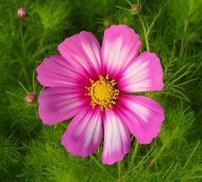 300 Graines de COSMOS Picotée Blanc - Rose / Douceur dans votre jardin / Fleur