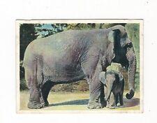 28/186 sammelbild-elefantes-gigante gris y su bebé