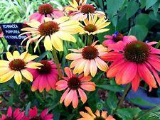 Echinacea 'Cheyenne Spirit' X 6 Jumbo Plug Plants Hardy Perennial