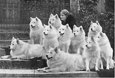 SAMOYED LADY AND GROUP OF DOGS LOVELY OLD IMAGE ON DOG GREETINGS NOTE CARD
