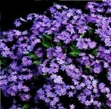 Flower - Forget Me Not - Victoria Rosea - 250 Seeds
