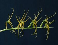 Brassia pozoi species Orchid Plant