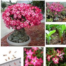 5pcs Scent Pink Adenium Obesum Desert Rose Flower Seeds Home Bonsai Plants Seed