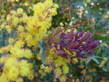 Acacia baileyana purpurea PURPLE HARDY ACACIA Exotic SEEDS!