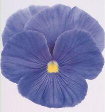Stiefmütterchen Viola Himmelblau zweijährig Höhe 15 cm Samen