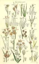 WILD FLOWERS: Beak-rush Spike-Water-Bull-Club-Cotton-grass. SOWERBY;1890