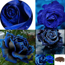New listing 20Pc Midnight Blue-Black Rose Bush Blooming Flower Stratified Seed Hoem Decor