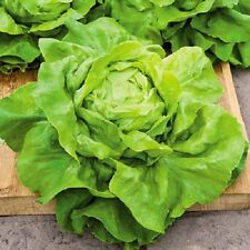 Lettuce Butterhead Buttercrunch A.A.S Gold Medal Winner 600+ Seeds COMBINED SHIP