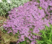 CREEPING THYME DWARF Thymus Serpyllum Ground Cover - 5,000 Bulk Flower Seeds