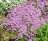 CREEPING THYME DWARF Thymus Serpyllum Ground Cover - 50,000 Bulk Flower Seeds
