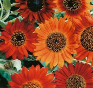 Sunflower°Earthwalker°🌻20 Seeds🌻Annual·Self Seed·Bees·Flowers·Cut