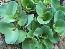 MINI Hosta Plant *BLUE MOUSE EARS