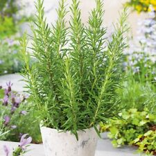 *Healthy* Rosemary Medicinal Herb, Home Spices 100 Seeds Fresh From Canada