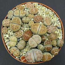Lithops karasmontana mickbergensis C 168, one pot full of Plants (780)