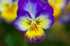 778mg Johnny Jump Up Viola Pansy Seeds ~ Purple Yellow White Wildflower Plant