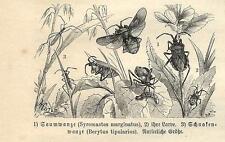 Stampa antica INSETTI Syromastes marginatus INSECTA 1891 Old antique print