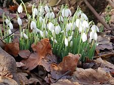 Snowdrops 'in the green' x 50 Galanthus nivalis Bulbs