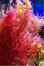 Rare red grape macro algae Botryocladia spp live coral refugium chaeto caulerpa
