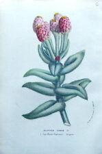 Helipterum eximium, Sur de Afirca van Houtte Antiguo botánico impresión C 1850