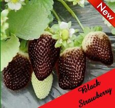 50 Seeds Rare Black Strawberry Black Pineberry Seeds Fruit Fresh Exotic Seeds