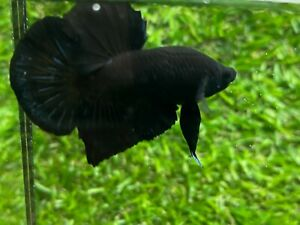 Live Betta Fish - Male - Fancy Black HMPK , Age 4 month From Thailand