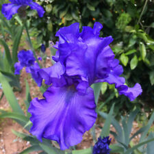 "Tall Bearded Iris Rhizome ""Blue Suede Shoes"" Last Auction!"