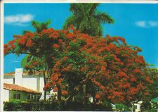 ROYAL POINCIANA OR FLAME TREE, FLORIDA'S MOST POPULAR FLOWERING TREE / UNUSED