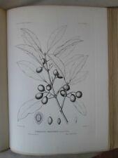 Vintage Print,Plate 279, DEVIL WOOD, 1st Ed,c1900, SILVA, Trees
