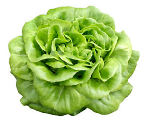 Lettuce 1500 Butter Crunch Seeds - UK Seller