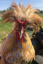5 Fresh Amp Fertile Chicken Hatching Eggs Assorted Barnyard Mix Gold Laced Polish