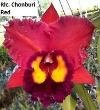 Cattleya Orchid - Rlc Chonburi Red