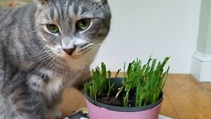 *Bring outdoor to your indoor cats* Organic Cat Grass Seeds. 10gram 250+ seeds