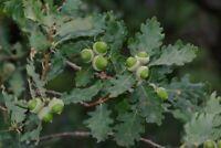 Quercus Pubescens Roverella (1 Plant A40-5x6, 5x15)