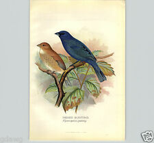 1899 Indigo Bunting Pair Male Bird Lithograph Litho Book Plate F W Frohawk Artis