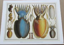 Natural History Cuttlefish Squids  15x12 Offset Lithograph Unsigned