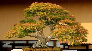 Mr Fothergill's All-In-One Starter Bonsai Kit Choice of Jacaranda/Maple/Pine