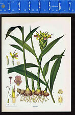 GINGER Botanical Plant - 1899 Nature Print Plus BONUS
