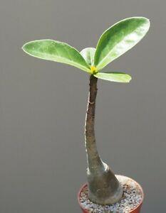 Adenium arabicum - Caudex forming succulent