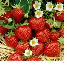 12 Ozark Beauty Everbearing Strawberry Plants(Pack of 12 Bare Root)Zone 4-9