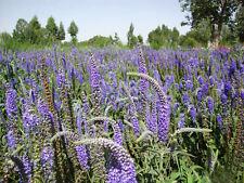 50 Speedwell Seeds Veronica didyma Ornamental Garden Flowers