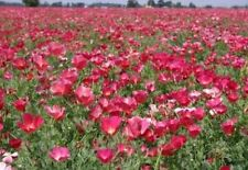 CARMINE KING CALIFORNIA POPPY 100 FRESH FLOWER SEEDS FREE USA SHIPPING