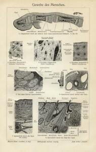 1897 Stampa Antica = CUTE UMANA PELLE = MEDICINA Anatomia  Old Print