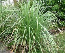 50 Graines non traitées de CITRONNELLE Cymbopogon Lemongrass Verveine des Indes