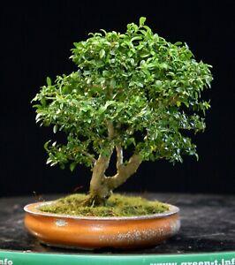 Kingsville Boxwood Bonsai Tree KBM-606I