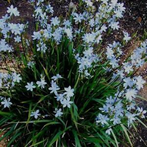 Orthrosanthus laxus - 3x Morning Iris Perennial Plants in 9cm Pots