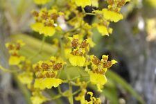 "ORCHID ""DANCING LADY""   (Oncidium sphacelatum)...two plants for sale..."