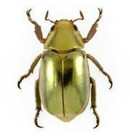 ONE REAL GOLD SCARAB BEETLE CHRYSINA RESPLENDENS A- CRAFT GRADE UNMOUNTED
