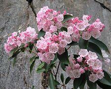 Zauberhaft - 100+ Samen Lorbeerrose - Berglorbeer - winterhart -Kalmia latifolia